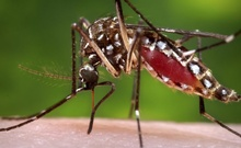 The Aedes aegypti mosquito, shown here, is one type of mosquito capable of infecting people with dengue fever. REUTERS