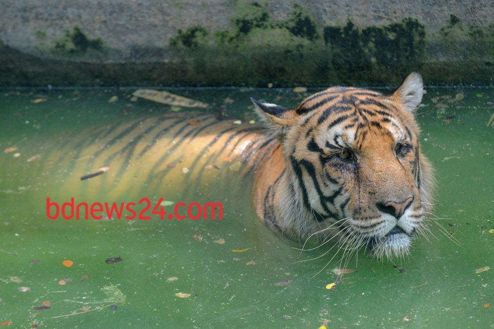 A Royal Bengal Tiger at Dhaka Zoo takes bath to beat the summer heat.