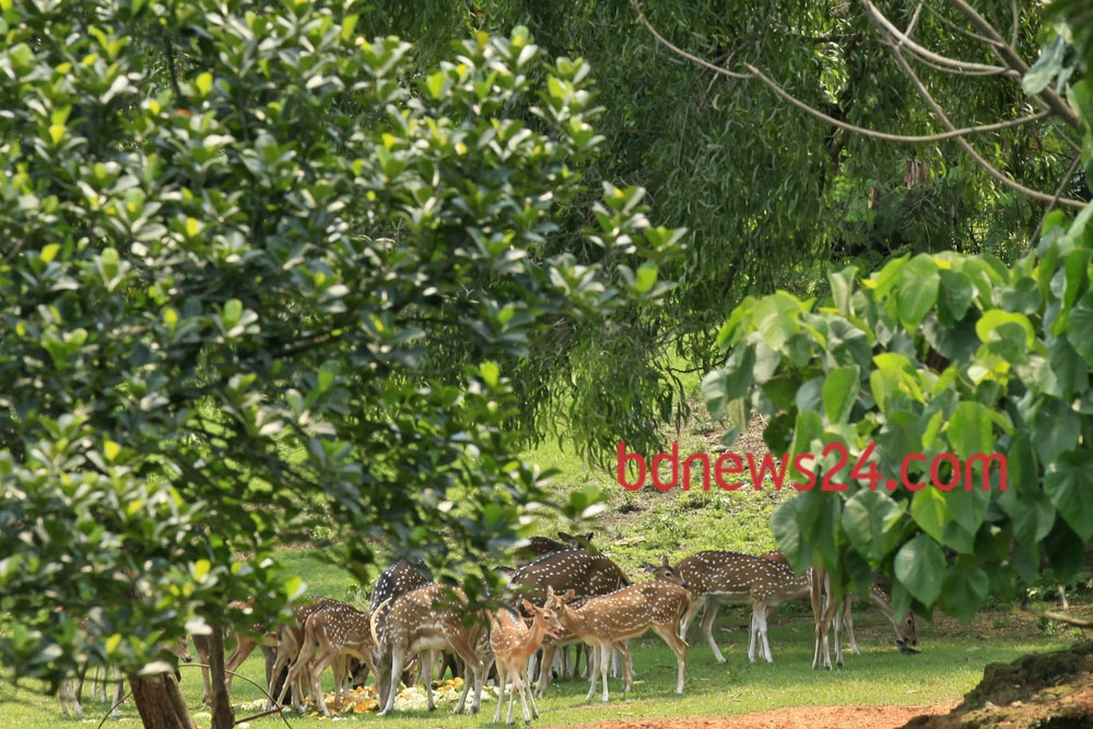 Spotted deer at Dhaka Zoo rest under a tree shade on a hot summer afternoon, Tuesday.