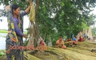 Representational Image: Women peel out jute fibre at Faridpur's Bhanga on Aug 25, 2013. Photo: mustafiz mamun/ bdnews24.com