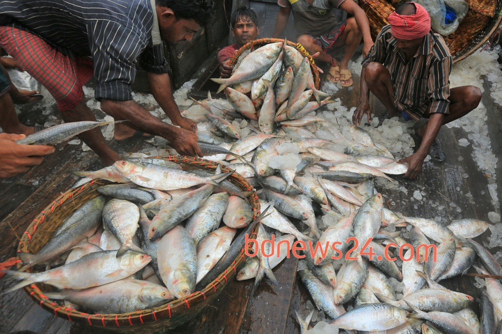 Workers unload hilsa from trawlers at the fish landing station in Chandpur town following large catches in the Bay of Bengal over the past couple of days. Photo: mustafiz mamun/ bdnews24.com