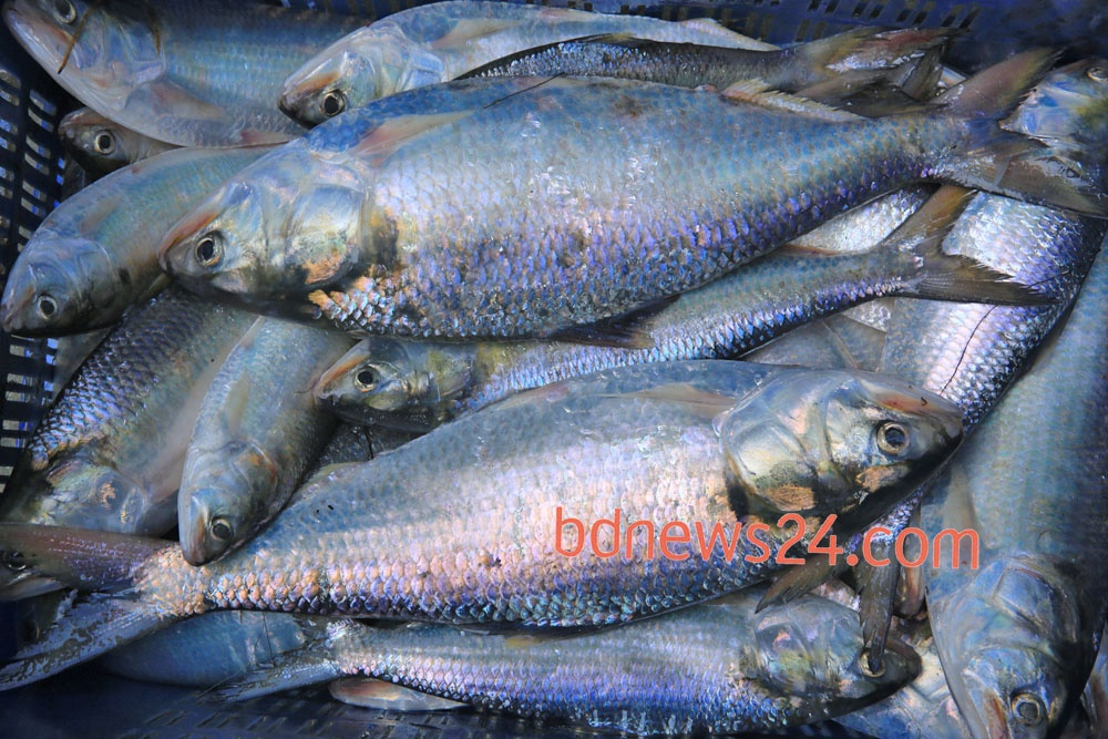 Hilsa fish is filed up at a wholesale market in Station Road of Chandpur on Sunday. Photo: mustafiz mamun/ bdnews24.com