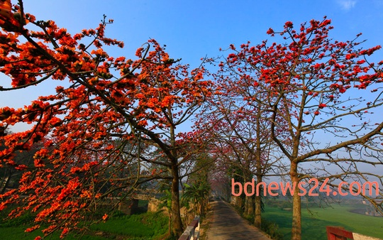 Spring flowers 'Shimul' are in full bloom at Narsingdi. Photo: mustafiz mamun/ bdnews24.com