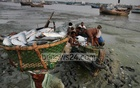 Warmer seas spell unsolvable trouble for Bangladesh's national fish Hilsha