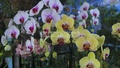 Colourful orchids at the Tree Fair at Sher-e-Bangla Nagar in Dhaka. Photo: asif mahmud ove/ bdnews24.com