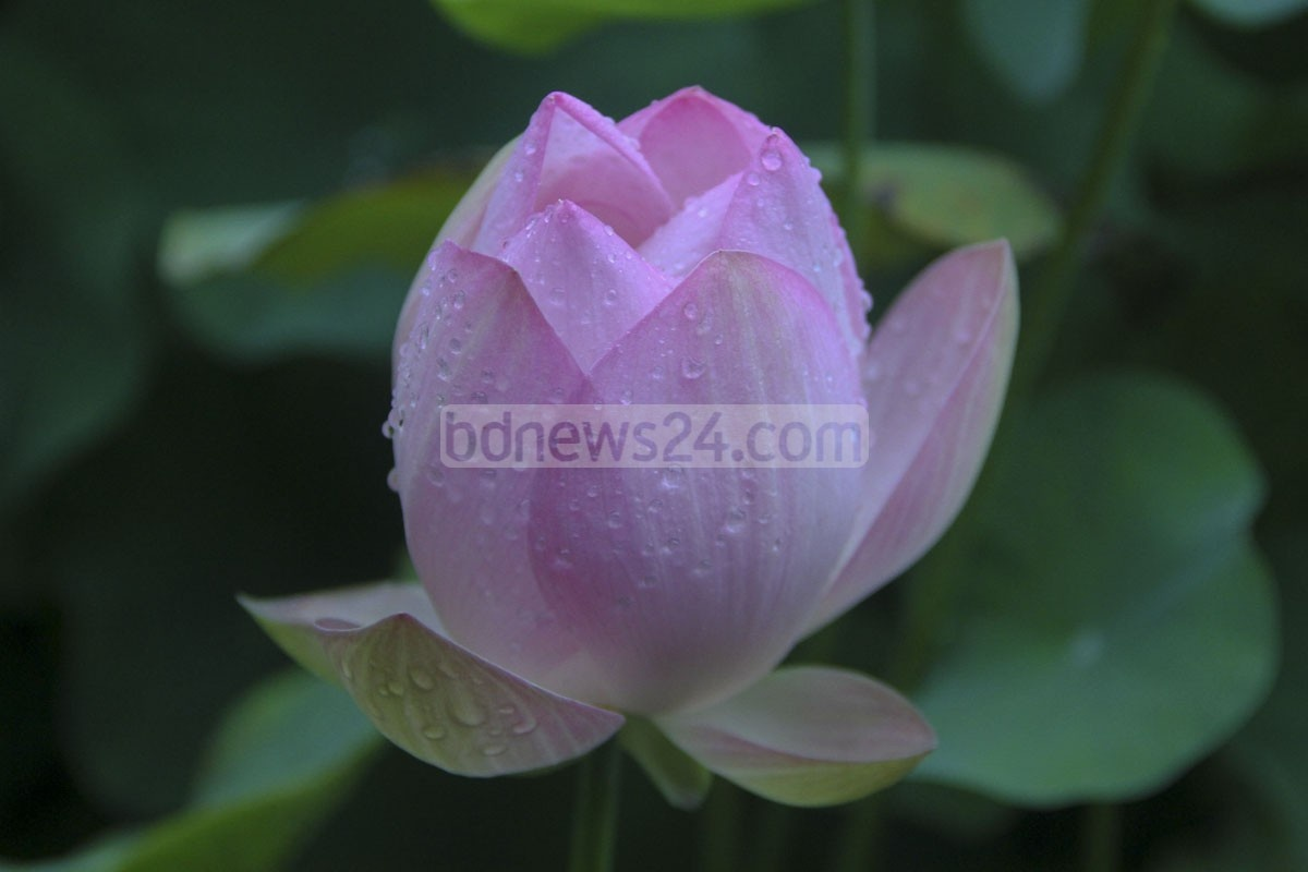 A lotus blooms in a stall at the Tree Fair at Sher-e-Bangla Nagar in Dhaka on Saturday. Photo: asif mahmud ove/ bdnews24.com