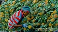 A worker is busy unloading a pineapple truck from Rangamati on Saturday. Photo: tanvir ahammed/ bdnews24.com