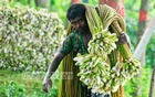 A worker carries stalks of water lilies which were collected from the Arial Beel in Munshiganj. Photo: mustafiz mamun/ bdnews24.com