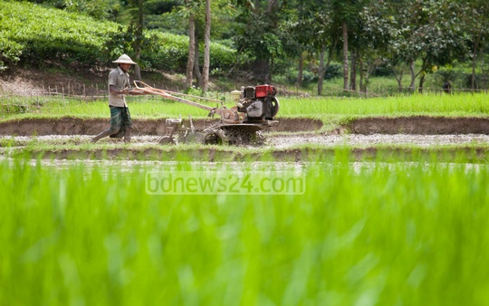 A farmer tills a field for harvesting paddy in Sreemangal, Moulvibazar. Photo: asaduzzaman pramanik/ bdnews24.com