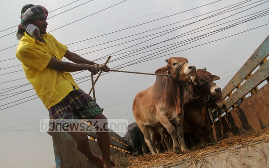 Trucks bring cattle to the Gabtoli cattle market ahead of Eid-ul-Azha. Photo: asif mahmud ove/ bdnews24.com