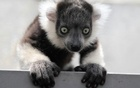 A one-month old black-and-white ruffed lemur (Varecia variegata) born in captivity is seen at the zoo in Cali March 14, 2011 file photo. Credit: Reuters