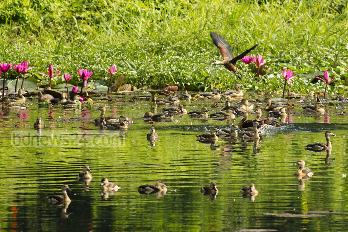 Migratory birds have started thronging the lakes of Jahangirnagar University at the onset of winter as captured in this Monday photo. Photo: mustafiz mamun/ bdnews24.com