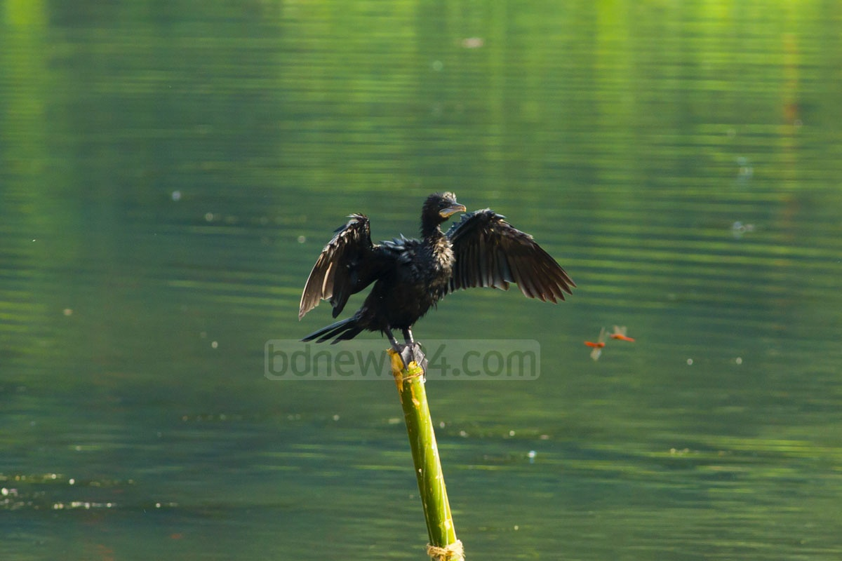 This photo snapped on Monday captures an Indian Cormorant at a lake in Jahangirnagar University. Photo: mustafiz mamun/ bdnews24.com