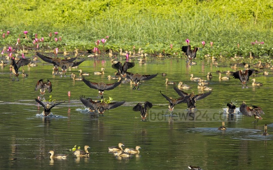 Lesser Whistling-ducks at a lake in Jahangirnagar University on Monday, a popular destination for migratory birds. Photo: mustafiz mamun/ bdnews24.com