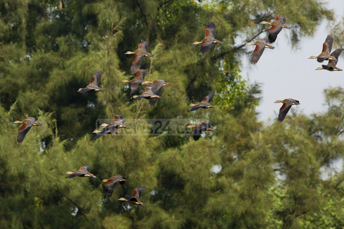 A flight of migratory birds at Jahangirnagar University on Monday. Photo: mustafiz mamun/ bdnews24.com