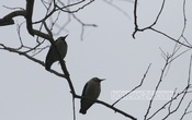 Winter morning brings two mynah birds close as they sit together on a tree as if waiting for the sun in this photo taken from Manikganj's Singair. Photo: tanvir ahammed/ bdnews24.com