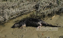 The dead otter was photographed by Jahangirnagar University Zoology Professor Monirul H Khan