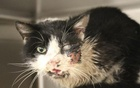 Bart the cat, recovering from a broken jaw and facial injuries, is seen in this Humane Society of Tampa Bay picture released on Jan 28, 2015. Reuters