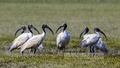 A flock of black-headed Ibis, locally known as 'Kalomatha Kastechora', is pictured at Domar Char at Noakhali's Hatia. Photo: mustafiz mamun/ bdnews24.com