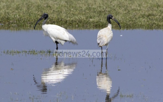 Adult black-headed Ibis is typically 75 cm long and weigh about 1.5kg. It usually lives off frogs, fishes and insects. Photo: mustafiz mamun/ bdnews24.com