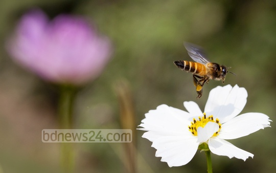 A bee collects nectar from a flower bloomed at Dhaka University's Curzon Hall premises. Photo: asaduzzaman pramanik/ bdnews24.com