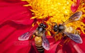 Bees collect nectar from a Dahlia flower bloomed at Dhaka University's Curzon Hall premises. Photo: asaduzzaman pramanik/ bdnews24.com