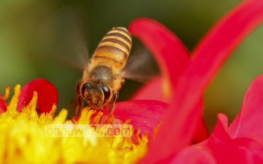A bee collects nectar from a Dahlia flower bloomed at Dhaka University's Curzon Hall premises. Photo: asaduzzaman pramanik/ bdnews24.com