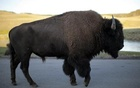 A bison walks in Yellowstone National Park, Wyoming, Aug 10, 2011. Reuters