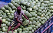 Watermelons are loaded on truck at Badamtali Ghat for despatch to various parts of Dhaka. Photo was taken on Wednesday. Photo: tanvir ahammed/ bdnews24.com