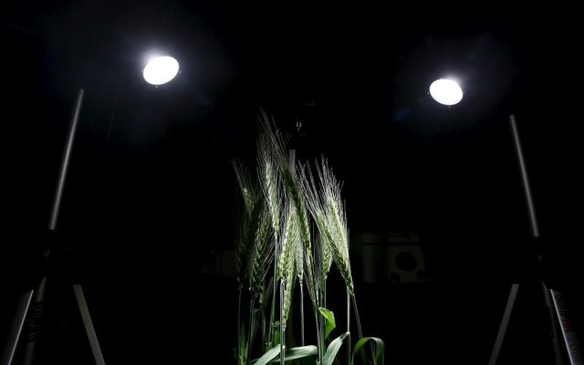 A picture shows a wheat crop being kept for scientific analyses inside a laboratory at the Indian Agricultural Research Institute (IARI), in New Delhi, March 20, 2015.