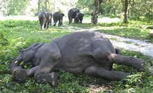 Representational image. An elephant lies on the ground in the Jaldhapara wildlife sanctuary in India Nov 6, 2007. Reuters