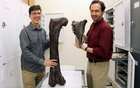 Christian Sidor, (R) Burke Museum curator of vertebrate paleontology, and Brandon Peecook, University of Washington graduate student, show the size and placement of the fossil fragment compared to the cast of a Daspletosaurusfemur, in this undated handout photo provided by... REUTERS