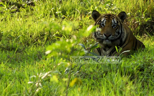 A Royal Bengal Tiger at Bangabandhu Sheikh Mujib Safari Park in Gazipur. Photo: mustafiz mamun