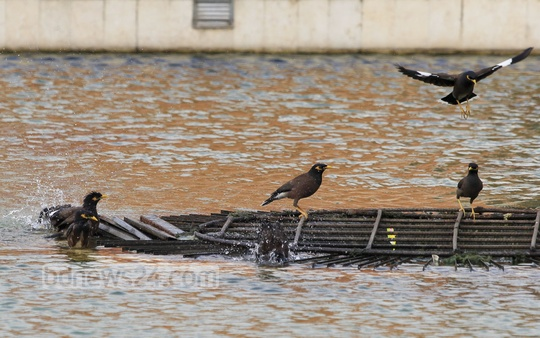 A flock of 'Shalik' (Common Myna) bathe at a tub at the Suhrawardy Udyan on Saturday to escape summer heat. Photo: asif mahmud ove