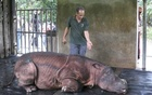 A veterinarian attends to Puntung, a newly captured female Sumatran rhinoceros in Lahad Datu, in Malaysia's state of Sabah on Borneo island in this January 12, 2012 file picture. Reuters