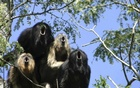 A black howler monkey vocal chorus is seen at the Biological Field Station Corrientes, Argentina in this handout image released to Reuters