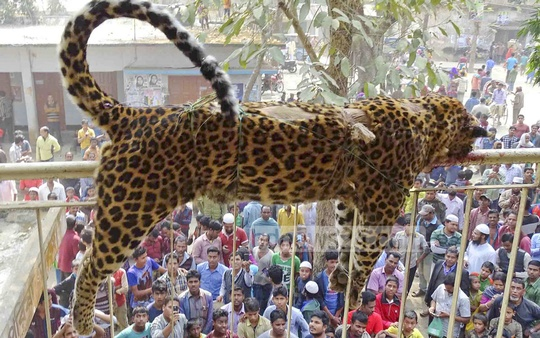 Taxidermy of a leopard has been hanged from a tree at Sherpur's Shreebardi after villagers killed it on Wednesday.