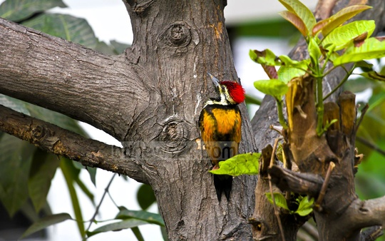 A black-rumped flameback on a burflower tree, seen in the heart of the bustling capital. Photo taken at Indira Road on Wednesday. Photo: tanvir ahammed