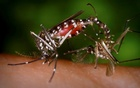 A pair of Aedes albopictus mosquitoes are seen during a mating ritual while the female feeds on a blood meal in a 2003 image from the Centers for Disease Control (CDC). Resuters