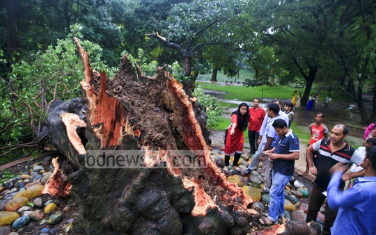 Wednesday evening's storm has overturned the hundred-year-old mahua tree at Ramna Green's Mahua Udyan in the capital. Photo: mostafigur rahman