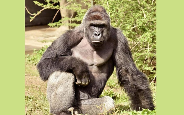 Harambe, a 17-year-old gorilla at the Cincinnati Zoo is pictured in this undated handout photo provided by Cincinnati Zoo. Reuters