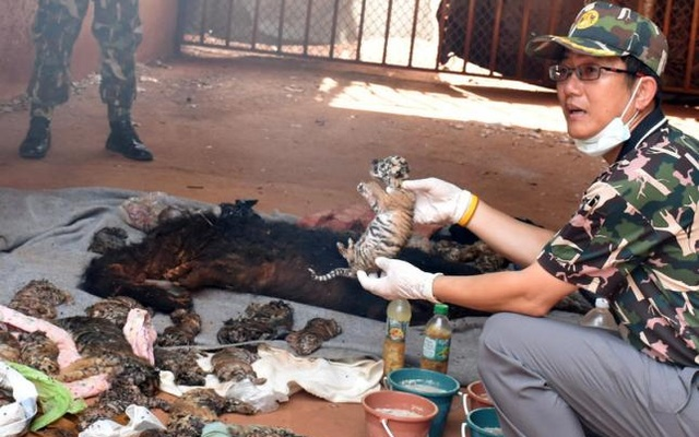 A dead tiger cub is held up by a Thai official after authorities found 40 tiger cub carcasses during a raid on the controversial Tiger Temple, a popular tourist destination which has come under fire in recent years over the welfare of its big cats, in Kanchanaburi province,... Reuters