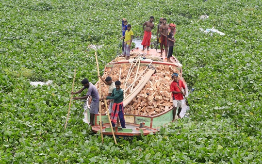 Boatmen have a tough time taking their craft loaded with bricks through a thick layer of water hyacinth in the Burhiganga River. The photo was taken at Kamarangir Char. Photo: mostafigur rahman