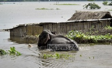 An elephant from India waded through water at a submerged shoal in Kurhigram in June. The elephant later walked over 250 kilometres into Bangladesh.