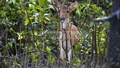 A fawn looks through tree branches at the Sundarbans' Katka Reserve. Photo: Mustafiz Mamun