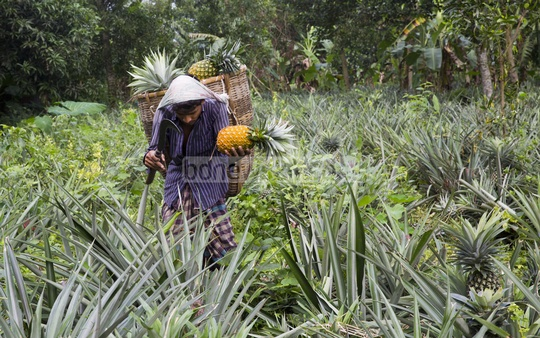 A farmer harvesting pineapples.