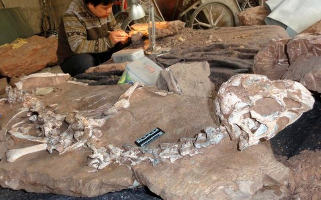 A well-preserved fossil of a new species of winged dinosaur, known as Tongtianlong or Mud Dragon, is seen in an undated handout picture. Reuters
