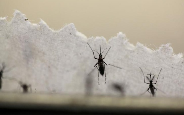 Aedes aegypti mosquitoes are seen at the Laboratory of Entomology and Ecology of the Dengue Branch of the US Centers for Disease Control and Prevention in San Juan, Puerto Rico, Mar 6, 2016. Reuters