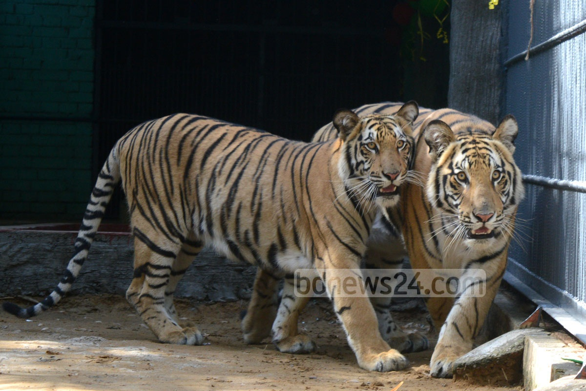 A 11-month old Royal Bengal Tiger and a nine-month old tigress were brought to Chittagong Zoo from South Africa on Friday.