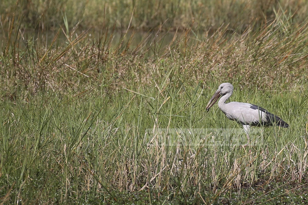A lonely Asian openbill stork roaming around a grassy pastures by a lake at Jahangirnagar University campus.